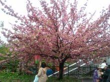 0422桜-1.jpg