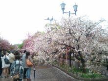 0422桜-2.jpg